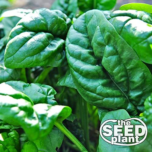 Early No. 7 Spinach Seeds by Seed and Plant